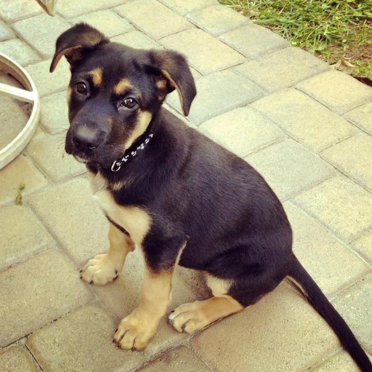 Molly, German Shepherd mix puppy #shepherds #puppies