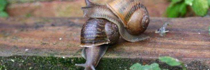 Een slak op liefdespad die geen partner vindt door haar ongebruikelijke schelp haalde vorige week de krantenkoppen in Groot- Brittannië nadat deze slak bij 2 mogelijke partners werd gebracht.