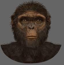 ARDIPITHECUS RAMIDUS Vivió en el Este de África. Los restos más antiguos son de hace 5,2 millones de años y se encontraron en Etiopía. Parece que ya era bípedo y que se alimentaba de vegetales (frutos y brotes tiernos de hojas). Su cerebro y su cara eran pequeños y era poco agresivo socialmente, lo que se deduce del pequeño tamaño de sus dientes.