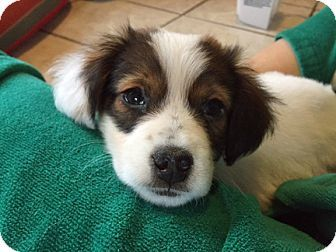Albuquerque, NM - Australian Shepherd/Collie Mix. Meet RUBY, a puppy for adoption. http://www.adoptapet.com/pet/17447847-albuquerque-new-mexico-australian-shepherd-mix