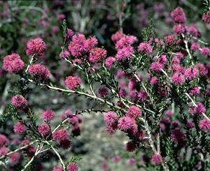 Melaleuca spathulata  Pom-pom Honey Myrtle