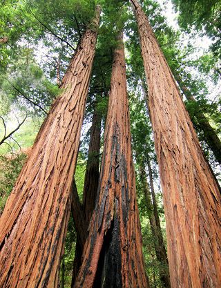 "Muir Woods National Monument - A Tree Lover's Monument. When John Muir learned that William and Elizabeth Kent were naming a redwood forest near San Francisco in his honor, he declared, ""This is the best tree-lovers monument that could possibly be found in all the forests of the world."" The couple had purchased the land to preserve its beauty and restful wilderness; and in 1908, they donated it to the federal governent to protect it from destruction."