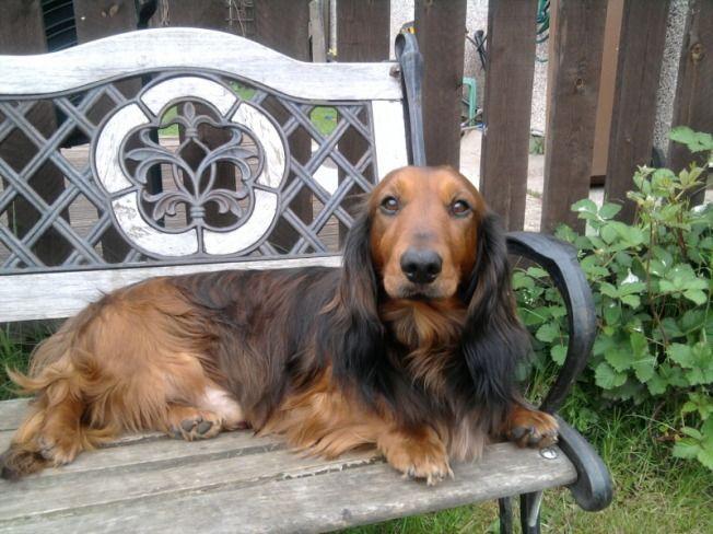 Blue Eyed Long Haired Dapple Dachshund Puppy Margaret