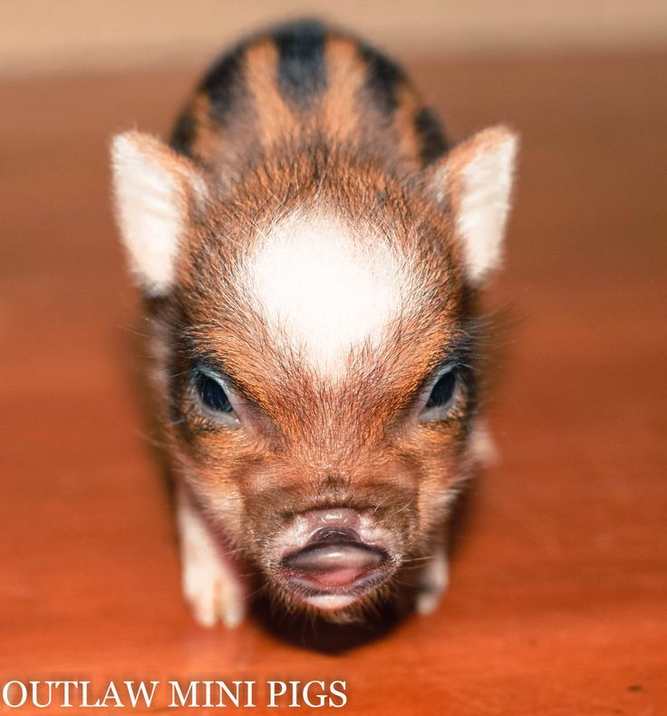 Meet Pepper the newest piglet born to Outlaw Mini Pigs. http://www.outlawminipigs.com/contact-us.html