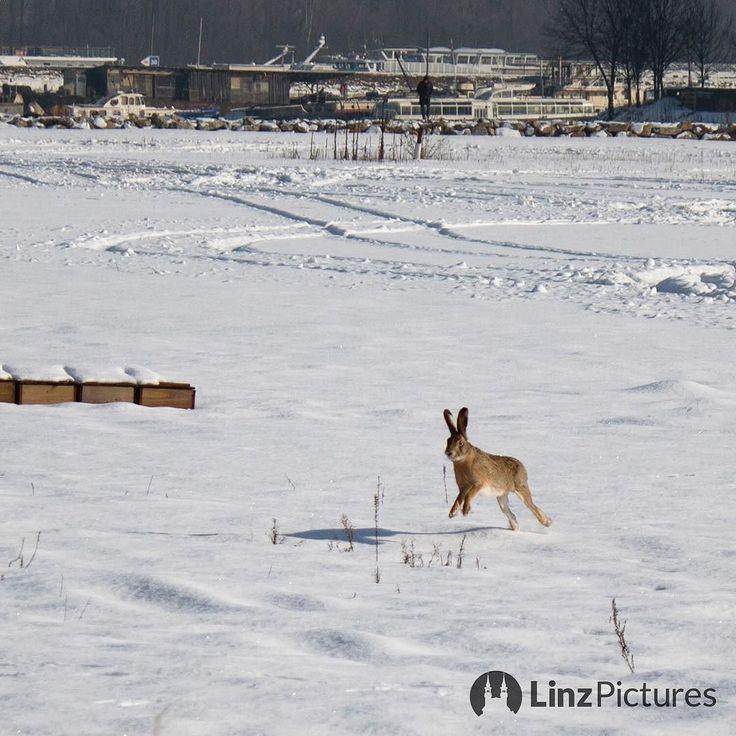#copy if you can ...  . . . . #feldhase #linz #igerslinz #linzer #wildlife #nature #igersaustria #streetphotography #winter #rabbit #shot #mood #goodlife #hase #bunny #winterwonderland #upperaustria #oberösterreich #linzpictures #vorlage #doit #copycat