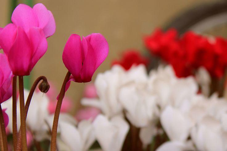 Cyclamen   Flickr - Photo Sharing!