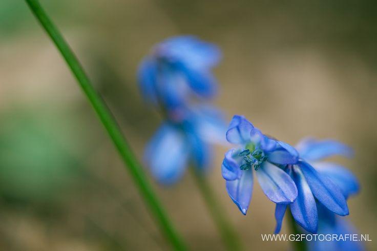 spring, flower, blue, wild hyacinth