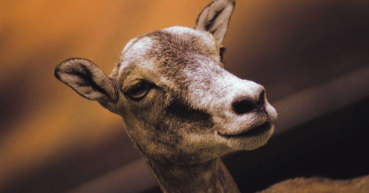 Como tratar abortos e problemas com natimortos em caprinos. As cabras abortam mais comumente de forma espontânea durante os dois últimos meses da gestação -- abortos mais precoces podem não ser detectados. Existem muitas causas para abortos e natimortos de caprinos (cabras e ovelhas), incluindo o estresse, a toxicidade de plantas, a má nutrição, a sobrecarga parasitária e vários agentes infecciosos. Como ...
