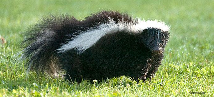Song: I'm a Little Striped Skunk - National Wildlife Federation