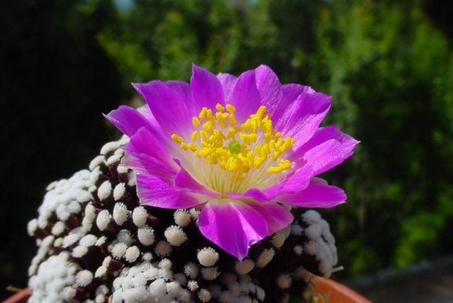 Mammillaria luethyi - Foto: Franck Martin