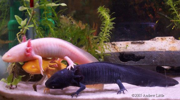 Small Axolotls can be cannibalistic, once reaching adulthood they enjoy socializing