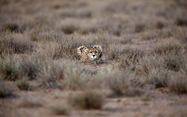 "In this Monday, May 26, 2014 photo, 7-year-old male Asiatic Cheetah, named ""Koushki"", crouches at the Miandasht Wildlife Refuge in Jajarm, northeastern Iran. Iran is conducting a campaign to rescue the Asiatic Cheetah which has disappeared across south and central asia except fewer than 100 remaining in Iran. (Photo by Vahid Salemi/AP Photo)"