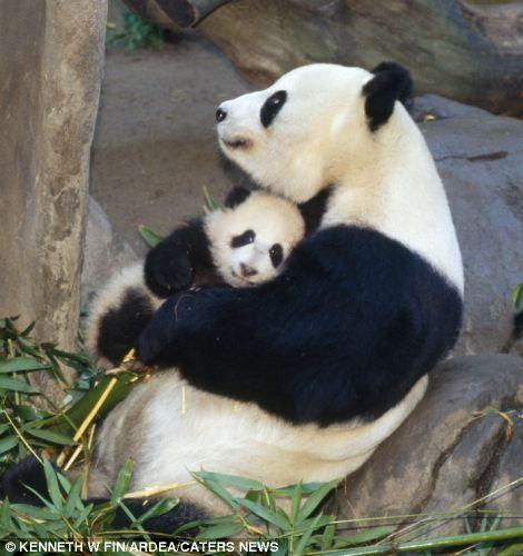Mummy Panda giving baby a hug.