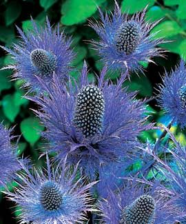 The sea holly, Eryngium maritimum, is a species of Eryngium and is native to most European coastlines. It resembles a plume thistle in that its flower is burr-shaped, but the flowers are a striking metallic blue rather than mauve. When protected from winds this dune plant grows to a height of 20 to 60 cm. Although widespread, it is considered endangered in many areas, such as Germany where it has become locally extinct in several districts. It is drought tolerant and deer-resistant.
