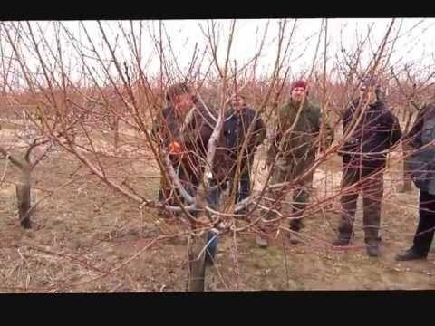 Broskvoně - Zahnův řez - YouTube
