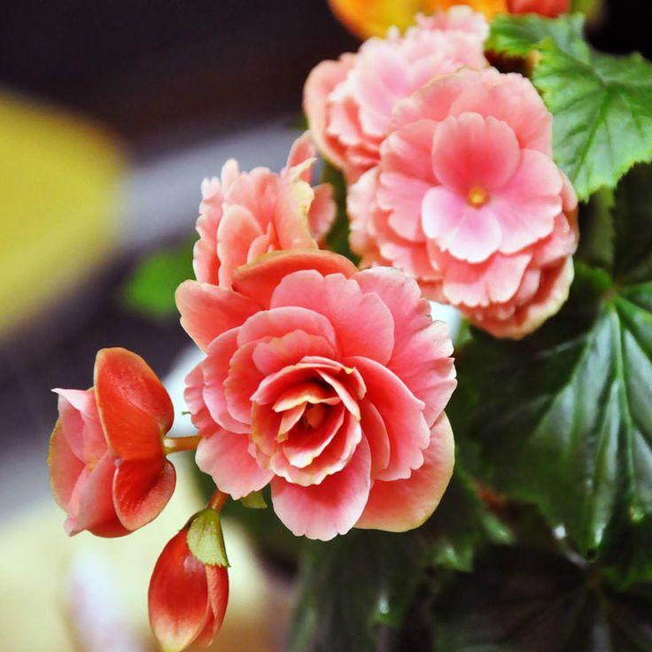 Привычный способ размножения комнатных растений - укоренение полученного от друзей черенка или деление куста. Но почему бы их не выращивать из семян? В чем сложность семенного размножения комнатных цветов?