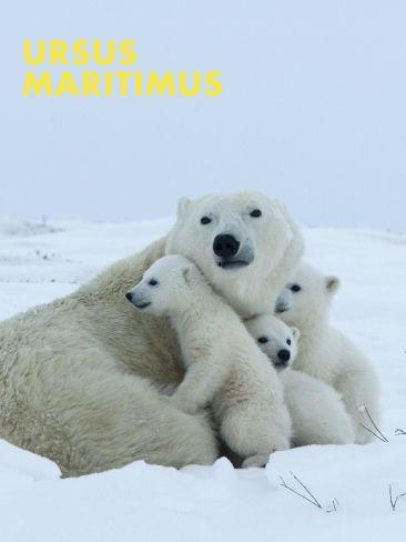 Polar Bear (ursus maritimus) by Thorsten Milse. Print from Art.com, $29.99