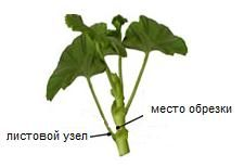 Обрезка и формирование пеларгоний (гераней) | Герань (Pelargonium)