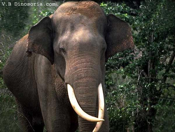 Mammifères: Éléphant d'Asie - Frawsy