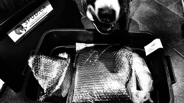 #spuddelivers #DougDog #americanstaffordshireterrier #AmStaff #noir_vision #blackwhitephotography #simply_noir_blanc #hicontrast #bnw_society