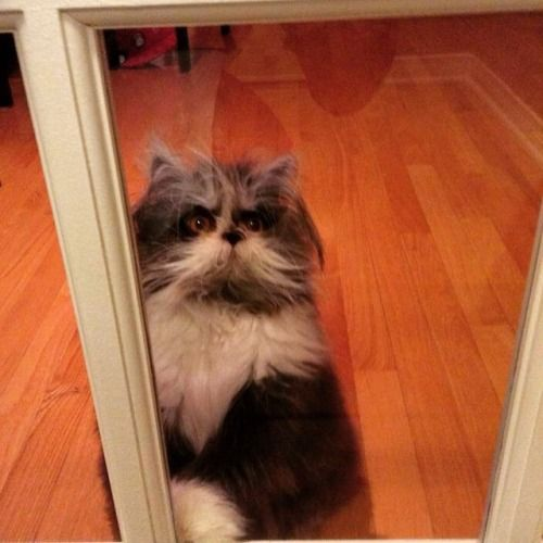 """Atchoum, which is French for """"Atchoo,"""" is a nine-month-old Persian cat. He has a condition called hypertrichosis, sometimes called the """"werewolf syndrome"""" in humans, which means he has an abnormal amount of hair growth all over the body, in particular on his face and around his paws. <3"""