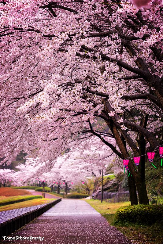 Cherry Blossoms Arch - Fureai Park, Higashisonogi, Nagasaki, Japan