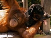 When Surya the orangutan meets a hound dog by the river, the two carry on like long lost friends.