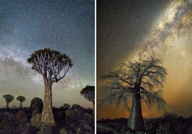 Фотографии старейших в мире деревьев на фоне звездного неба