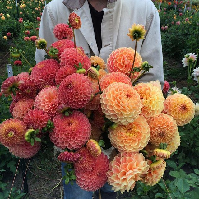 Two of my all time favorite dahlias (left) Snoho Doris (right) Crichton Honey. We'll have tubers available for both to preorder for next year soon! #floretshop