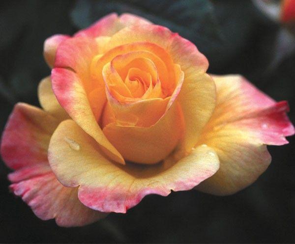 Night Light 174 Climbing Roses Roses Heirloom Roses
