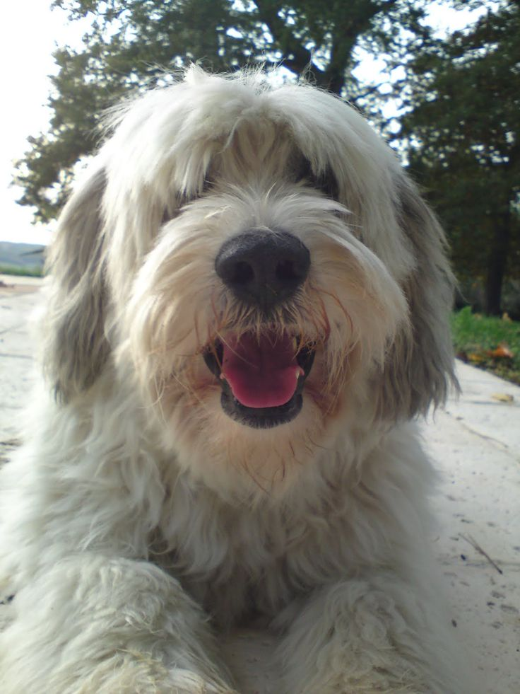 #freepetcare The Old English Sheepdog is either born tailless (as the name Bobtail implies) or is completely amputated. Note: it is illegal to dock tails in most parts of Europe.