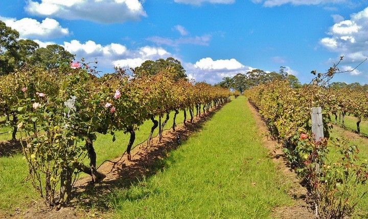 Guide to the famous Hunter Valley Wine Region in NSW, Australia: http://www.ytravelblog.com/a-guide-to-hunter-valley-wine-tasting-and-tours/