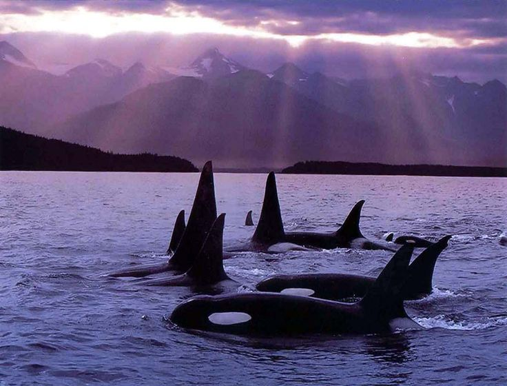 Orca pod at sunset near the NW coast... <3. would love to see them in person in the ocean and not in a tank!