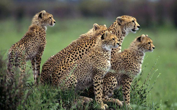 Cheetah+wallpaper