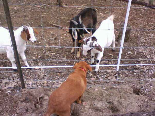 At bush checking on the goats - Red Cattle Dog Cross