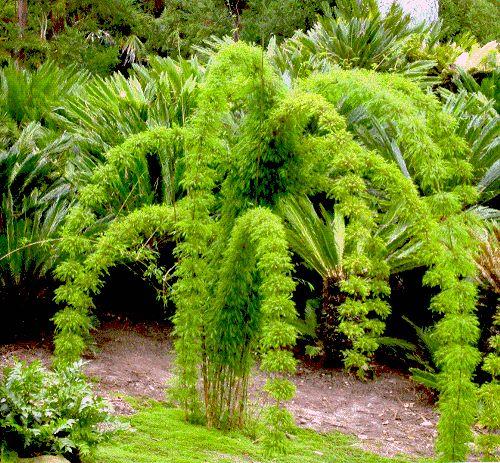 Mexican Climbing Bamboo (Chusquea coronalis)