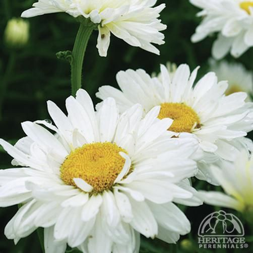 24 best tanacetum images on pinterest daisies bellis for Terrace garden meaning