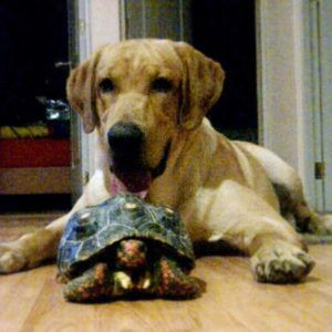 Labrador with Red-Footed Tortoise--The Red Food tortoise thrives in a warm, moist environment. If you don't live in a climate where it stays pretty moist and around 75 to 80 degrees Fahrenheit (23 to 26 degrees Celsius), you should probably try to find a different type of tortoise that is more suited to your climate. Because there are so many types of the tortoise to choose from, this shouldn't be a problem at all. These tortoises will reach 12 to 14 inches....