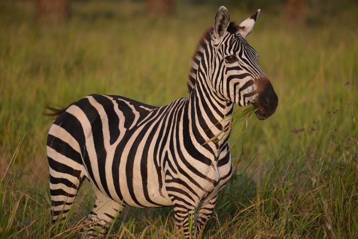 Beautiful Zebras in Africa