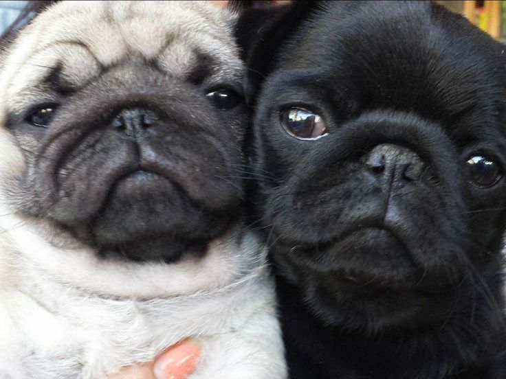 Pug Puppies For Sale - AKC Marketplace
