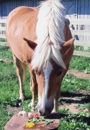 Fruits and veggies that are safe to feed your horse   (and a list of those that are not: Cabbage,  Broccoli -- conflicting reports but some say broccoli is colic-inducing, Cauliflower,  Rhubarb,  Onion,  Potato,  Tomato,  Acorns,  NO FRUIT PITS AT ALL EVER).