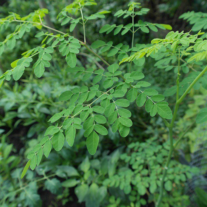 Moringa – Das Kraut das Krebs zerstört und Diabetes stoppt |