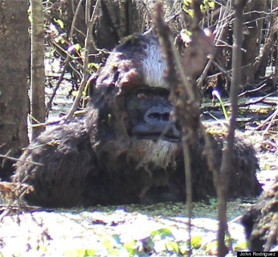 Bigfoot sightings 2015. Not for nothing but , this has the face of a gorilla.
