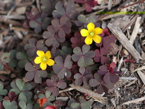 Creeping Woodsorrel (P) (Oxalis corniculata) - family: Oxalidaceae (Woodsorrel) - MSU Turf Weeds.net - Weed identification and information. A resource guide from the Dept. of Crop and Soil Sciences at Michigan State University