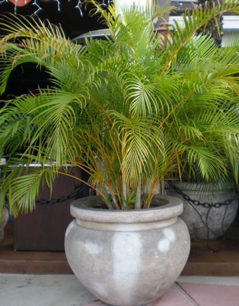 The Areca Palm Also Known As Butterfly Palm Cane Palm