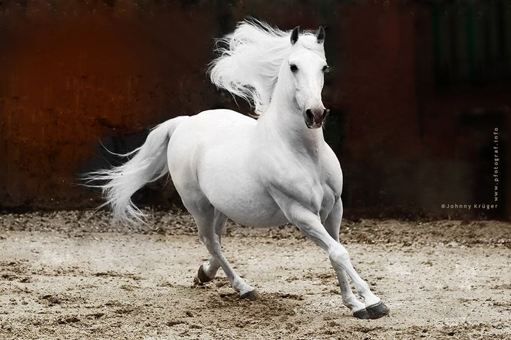 Andalusian stallion - copyright by www.pfotograf.info