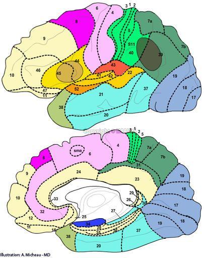Neuroanatomía : Áreas de Brodmann, Área de Broca, Área de Wernicke, Área 17 - Córtex visual primario, Área 1 - Córtex somatosensorial primario, Área 4 - Córtex motor, Área 41 - Córtex auditivo primario, Área 6 -