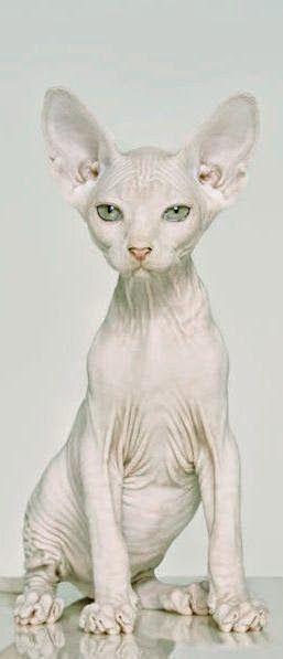 Le peterbald est une race de chat originaire de Russie. Ce chat est caractérisé par sa robe sans poils