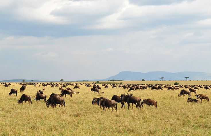 Catching the tail end of the Great Migration on my unforgettable safari in the Masai Mara, Kenya.