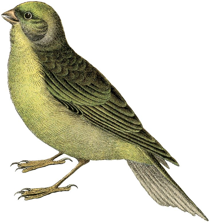 Exceptional Free Vintage Bird Image - Citril Finch - The Graphics ...